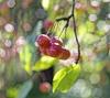 Яблочный сад - Ранет